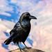 Maître corbeau