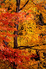 The Colors of Fall 3-0 F LR 11-1-18 J034 (sunspotimages) Tags: autumn fall tree trees forest nature falltree falltrees fallforest autumntree autumntrees leaves fallleaves orange red yellow
