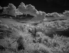 IR Yuccas -- DSCN0601 (RRobertsphoto) Tags: yucca ir infrared desert newmexico clouds summer blackwhite