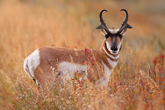 Alert Pronghorn, Grand Teton National Park (Bryan Carnathan) Tags: pronghorn hunting bowhunting season nature wyoming jackson grandteton grandtetonnationalpark gtnp wy ngc
