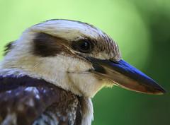 Laughing Kookaburra, Magnetic Island, NQld (David W Hartney) Tags: kingfisher laughing kookaburra magnetic island townsville north queensland australia