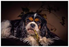 Lilly (Pepenera) Tags: dog dogs cane cani cavalier portrait
