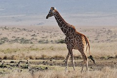 Reticulated Giraffe (Giraffa camelopardalis reticulata) (Susan Roehl) Tags: kenya2015 lewawildlifesanctuary eastafrica reticulatedgiraffe giraffacamelopardalisreticulata somaligiraffe caninterbreedwithothersubspecies ninegiraffesubspecies sueroehl naturalexposures photographytours panasonic 100300mmlens handheld animal mammal herbivore ungulates africanplains landscape caninterbreed mostwellknown mostcommoninzoos feedsonacaciatrees combretumtrees 100differentplants drinks12gallonsatatime watermainlyfromleaves coth5 ngc