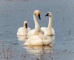 Tundra Swans (tresed47) Tags: 2019 201901jan 20190107bombayhookbirds birds bombayhook canon7dmkii content delaware folder january peterscamera petersphotos places season swan takenby tundraswan us winter