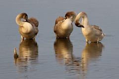 Swan pilates (robin denton) Tags: muteswan swan wildlifetrust bird waterbird nature wildlife reflection preen preening farings lincolnshirewildlifetrust birdreserve