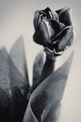 Amaryllis (pni) Tags: monochrome cinc flower plant helsinki helsingfors finland suomi pekkanikrus skrubu pni