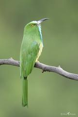 Blue bearded bee eater (arunprasad.shots) Tags: beeeater green perch tree branch nikon ngc explore prime nilgiris