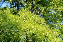 Taxodiaceae (Bephep2010) Tags: 2018 7markiii af100mmf28macro alpha baum botanischergarten brissago brissagoislands brissagoinseln isoledibrissago makro minolta schweiz sommer sony switzerland taxodiaceae tessin ticino botanicalgarden green grün macro summer tree ⍺7iii ch