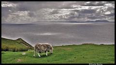 Vision écossaise ( Scottish vision) (pileath) Tags: ile de skye nuages atlantique mouton falaise verdure soleil ecosse clouds grey white sheep sky ciel cliffs argenté silvered