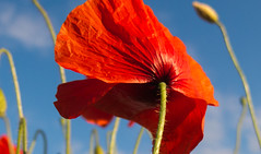 Armistice Day Poppy, 11th November 2018 (The Rustic Frog) Tags: armistice day poppy 100 years ever forget 11th november 1918 2018 lest war world one 1 remembrance