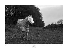 Let it Rain! (AnthonyCNeill) Tags: horse pferd caballo cheval coat black white blanco negro noir blanc schwarz weiss weis schwarzweis nikon fm2n 105mm f25 35mm film monochrome mono outdoor field countryside grüne campo campagne bianco nero biancoenero
