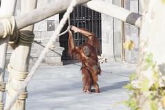 Orang utan at Pairi Daiza 20180-10-14 (kuromimi64) Tags: pairidaiza zoo 動物園 brugelette ブリュージュレット hainaut エノー belgium ベルギー belgique belgië europe ヨーロッパ sumatranorangutan スマトラオランウータン orangutan オランウータン ape 猿