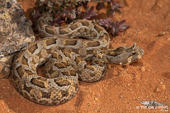 Many Horned Adder - Bitis cornuta (Tyrone Ping) Tags: bitis cornuta many horned adder dwarf venomous snake snakes wild wildlife nature creature critters life spingbok cape northern macro 100mmmacrof28 f28 mt24ex tyroneping wwwtyronepingcoza namaqualand beautiful cute amazing world southern africa african close up herping herps herpetology herptiles canon 5dmiii photography