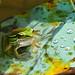 Lembah Harau - Green Paddy Frog