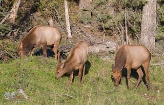 Strange Cows (Roosevelt Elk)