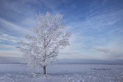Winter Tree (Canon Queen Rocks (2,510,000 + views)) Tags: tree frost hoarfrost sky scenery scenic snow landscape winter nature cold alberta canada prairies fields farmland
