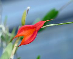 Masdevallia veitchiana ('Pacific Giant' x 'Bolin') species orchid 10-18 (nolehace) Tags: fall nolehace sanfranciso fz1000 1018 flower bloom plant masdevallia veitchiana pacific giant bolin species orchid cultivar