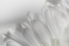 whiter shade of pale (johnsinclair8888) Tags: macromondays whiteonwhite johndavis flower macro nikon d750 dof white sliderssunday