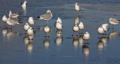 Resting on the ice (ArtGordon1) Tags: davegordon davidgordon daveartgordon davidagordon daveagordon artgordon1 winter hollowpond hollowponds leytonstone london england uk january 2019 bird birds gull seagull