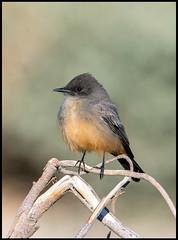 Say's Phoebe (Ed Sivon) Tags: america canon nature lasvegas wildlife western wild southwest desert clarkcounty vegas bird flickr henderson nevada