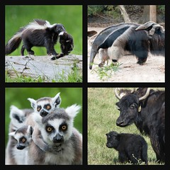 Mothers Love Their Babies (Collage # 38) (I Flickr 4 JOY) Tags: ribbet skunk anteater babyanimals lemur yak collage