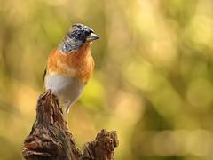 P1016558_hf (alfred.reinartz) Tags: fringillamontifringilla bergfink bird vogel singvogel brambling