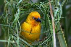 Weaver (soetendaal) Tags: southafrika addoelephantpark za wildlife nature zuid afrika national park port elizabeth garden route eastern cape bird birds aves animal animali pájaro oiseau
