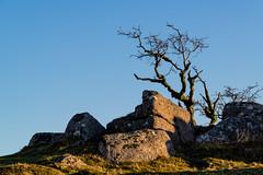 Tree and Rocks - NK2_6998 (Jean Fry) Tags: dartmoor dartmoornationalpark devon downtor englanduk nationalparks trees uk westcountry lateafternoon latesunight lonetrees rocks tors graniterocks dartmoortors