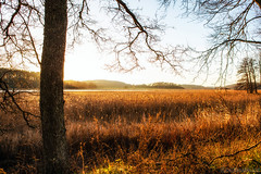 Trees & reeds (Joni Mansikka) Tags: autumn nature outdoor trees reeds branches light seabay landscape sauvo suomi finland