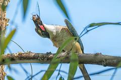 Kingfisher Sacred.... (Beckett_1066) Tags: dam birds hawkesbury kingfisher sacredkingfisher water cicada