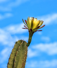 Reaching For The Sky (http://fineartamerica.com/profiles/robert-bales.ht) Tags: arizona cacti foothills forupload haybales people photo places plants projects states sky blue flower cereus cactus plant desert blooming isolated flora bloom epiphyllum nature garden nightblooming beauty green night queen yellow succulent white floral beautiful exotic selenicereus cirius cirrus cactoideae delicate blossom organism tropical botany seasonal closeup queenofthenight blooms spring orchidcactus southwest bloomingcereus singleflower petal nightbloomingcereus pollen robertbales