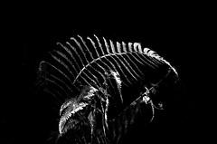 Ferns from the Forest Floor (Richie Rue) Tags: pentax espio pointandshoot pns foma fomafomapan200 film analogue bellinifoto ecofilm fern bracken woods woodland forest botany botanical flora chiaroscuro fineart 35mm ishootfilm istillshootfilm filmsnotdead summer flash shadow lights