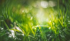 Grass bokeh (Dhina A) Tags: sony a7rii ilce7rm2 a7r2 a7r mir1 37mm f28 1b 1v m32 manual focus bokeh modified mod ussr russian grass