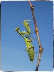 MANTIS RELIGIOSA (BLAMANTI) Tags: mantis mantisreligiosa verde alienigena extraterrestre insectos canon canonpowershotsx60 blamanti photoshop