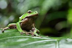 2J4A8073 (ajstone2548) Tags: 12月 樹蛙科 兩棲類 翡翠樹蛙