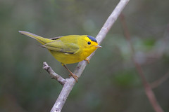 Wilson's Warbler (Greg Lavaty Photography) Tags: wilson'swarbler cardellinapusilla texas december cullinanpark fortbendcounty myrtle birdphotography outdoors bird nature wildlife