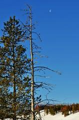 Yellowstone Landscape (Susan Roehl) Tags: yellowstoneinwinter2017 yellowstonenationalpark wyoming usa landscape talltrees mooninsky coloredfoliage outdoors winter sueroehl photographictours naturalexposures lumixdmcgx8 35x100mmlens handheld snow yellowstonefirstnationalpark establishedin1872 ulyssesgrant firstnationalparkintheworld montana manyecosystems subalpineforest coth5 ngc