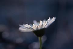 clair obscur (christophe.laigle) Tags: christophelaigle fleur macro nature flower fuji daisy xpro2 xf60mm pâquerette