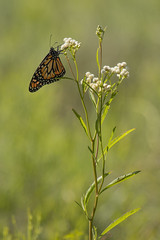 Mariposa monarca (Danaus erippus) (Ce Rey) Tags: butterfly mariposa monarca monarch argentina wildlife nature vidasilvestre naturaleza insect verano bokeh green grass weeds yuyos challengegamewinner