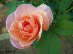 Father's Rose (camerapoetry) Tags: nature rose rosebush garden homegrown sydney australia