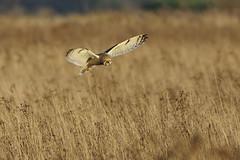 K32P1381a Short-eared Owl, Burwell Fen, November 2018 (bobchappell55) Tags: burwellfen cambridgeshire nationaltrust wild bird wildlife nature shorteared owl asioflammeus birdofprey