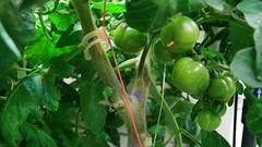Rispentomaten Pflanzen im Gewächshaus