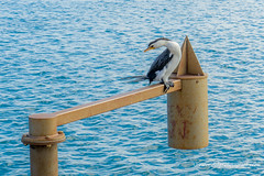 Little Pied Cormorant watching for dinner at Port Macquarie (Peter.Stokes) Tags: australia australian colour fauna landscape landscapes native nature outdoors photo photography water vacations colourphotography wildlife bird birds countryside littlepiedcormorant portmacquarie