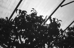 Shadows (robbiemaynardcreates) Tags: bonsai tree massachusetts emily crozier robbie maynard creates chinese art black white photography ilford fp4 125 minolta xe5 35mm film portrait nature garden greenhouse analog bnw people orange cactus