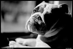 2017-12-04-0032-border (JSturr - jsturr.com) Tags: english bulldog lola fuji acros 100 self scanned developed nikon f100 35mm salt lake city utah bw black white dog k9 pet awesome animal