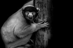 Sifaca (Kaobanga) Tags: madagascar sifaca sifaka bw bn blackandwhite blancoynegro monocrom monocromo monochrome kaobanga rvl