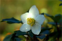 helleborus........... (atsjebosma) Tags: winter atsjebosma helleborus bloem bloei wit white bloesem groningen thenetherlands nederland bokeh natureinfocusgroup coth5 ngc npc