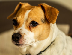 6M7A4888 (hallbæck) Tags: hund dog chien dansksvenskgårdhund danishswedishfarmdog pet kæledyr hørsholm mh denmark canoneos5dmarkiii ef100mmf28lmacroisusm pippi rottehund gådhund