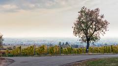 Morgendunst über Edenkoben.jpg (Knipser31405) Tags: 2018 hdr pfalz weinberge herbst edenkoben germany vino new
