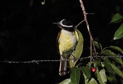 Pitangus sulphuratus (mazama973) Tags: bird oiseau frenchguiana guyane guyanefrançaise tyrannidae pitangussulphuratus tyranquiquivi greatkiskadee